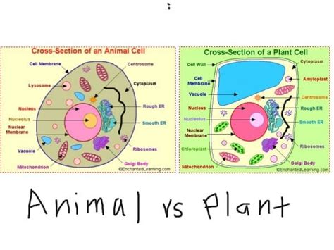 2d diagram of plant cell 2d diagram of plant cell