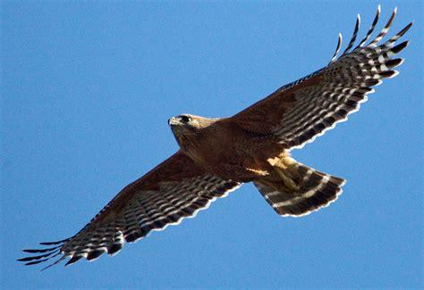 red shouldered hawk san diego bird spot