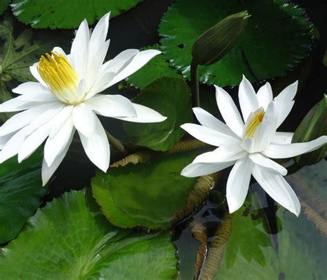 Pupuk Untuk Bunga Teratai teratai capensis putih jual tanaman hias