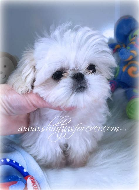 mini imperial shih tzu imperial shih tzu puppy for sale tiny shih tzu breeds picture