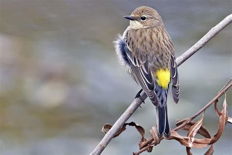 yellow rumped warbler quot dendroica coronata quot boreal
