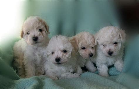 puppies mn bichon frise puppies in minnesota experienced breeders of bichon frise shihtzu puppies
