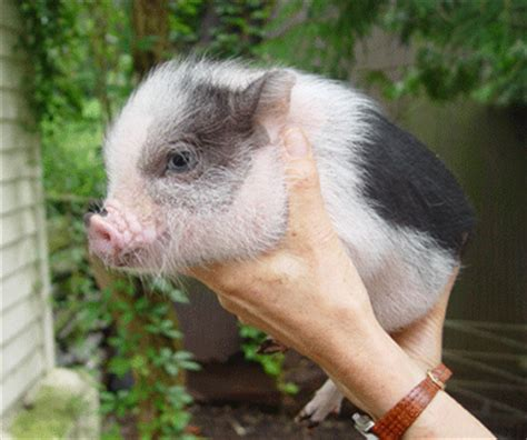 vietnamese pot bellied pigs baby animal zoo