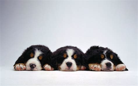 imagenes wallpapers tiernas 20 wallpapers de perritos blogerin