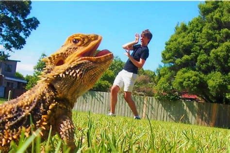 bearded dragons  pet owners improve understanding