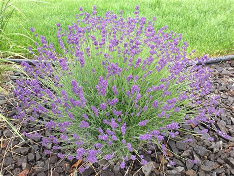 how to grow lavender like the french lavender easy and