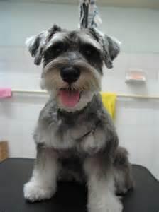 schnauzers hair cuts miniature schnauzer puppy cut dog breeds picture