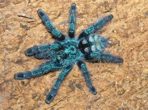 spiderling curly hair spiderlings tarantula care sheet how to care for an avicularia versicolor pink toe tarantula