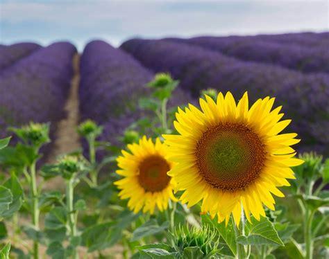 Lavendelfelder Provence by Erlebnisurlaub Lavendelfelder In Der Provence
