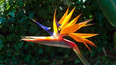 fiori uccelli paradiso uccello paradiso sterlitzia foto immagini fiori