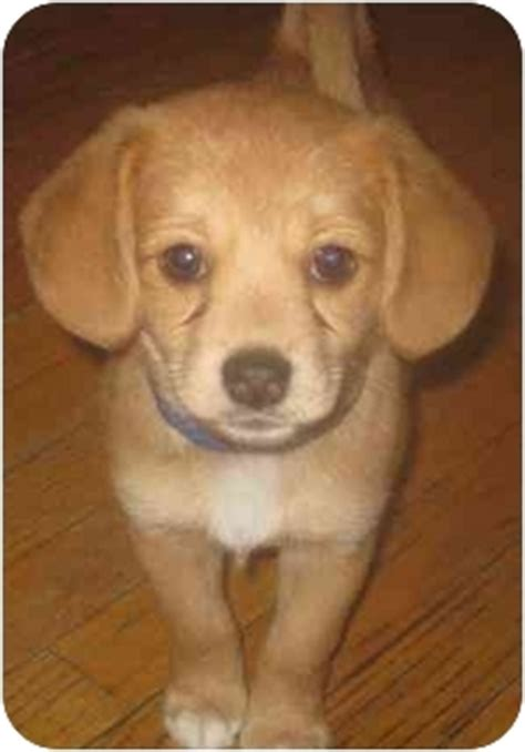 pomeranian and beagle emmie adopted puppy chicago il beagle pomeranian mix
