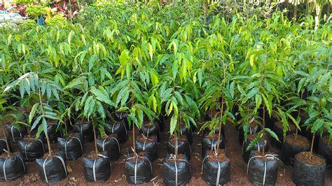 Net Pelindung Tanaman jual bibit pohon glodogan tiang jual pohon glodogan tiang murah