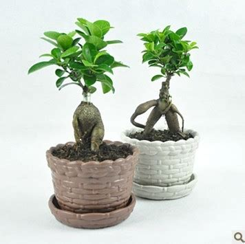 Small Plants For Office Desk Indoor Flowers Plants Small Radiation Resistant Ficus Bonsai Stairwells Bonsai Office Desk Mini