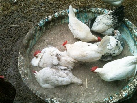 bathroom dust dust bath ideas for your chickens diy chicken dust bath