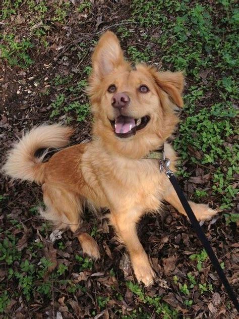 corgi golden retriever mix puppies corgi golden retriever mix breeds picture