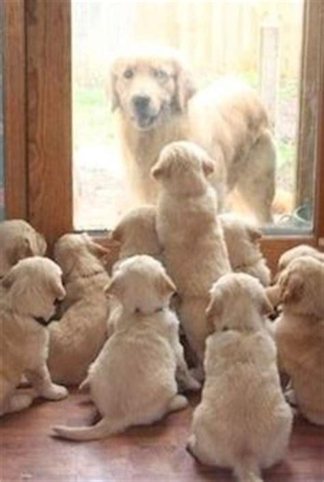 golden retriever puppies in kansas hey got locked out golden retriever puppies in parsons kansas photo