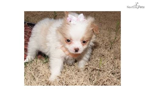 chion pomeranian breeders japanese chin for sale for 500 near texoma 177b5815 f201