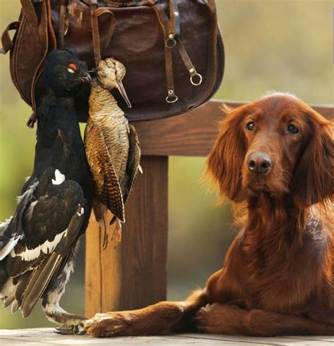 irish setter dog hunting 401 best images about red dogs on pinterest