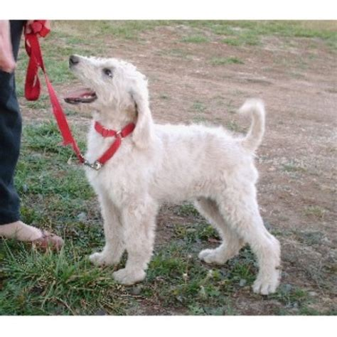 mini labradoodles kansas city labradoodle breeders and kennels freedoglistings