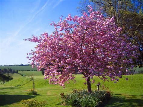 blossom tree blossoming tree by kaytoo dreamer on deviantart