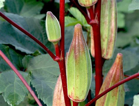 hill country heirloom red okra   southern exposure