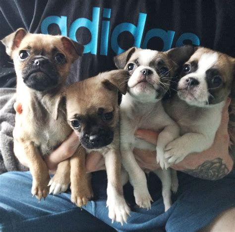 cross pug puppies for sale pug russel cross puppies for sale walsall west midlands pets4homes