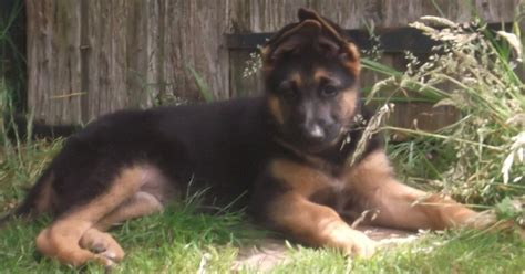 what to look for when buying a puppy german shepherd health problems feeding raising a puppy autos post