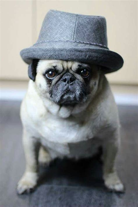 dapper pug 206 best images about pugs on watercolors pugs and pug