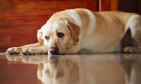 puppy limping back leg 3 reasons your may be limping on a hind leg smart tips