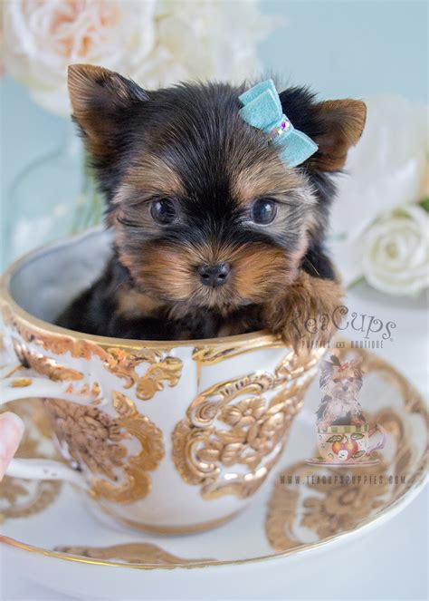 where to sell puppies yorkie puppy for sale in broward teacups puppies