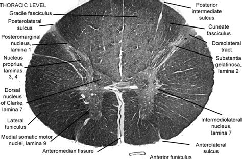 thoracic spinal cord cross section spinal cord thoracic