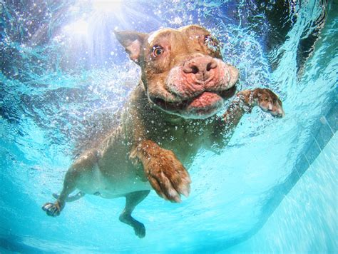 dogs underwater friends print shop underwater dogs by seth casteel quot floating pit bull quot