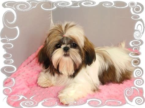 windsong shih tzu best 25 shih tzu breeders ideas on shih tzu shih tzu puppy and baby shih tzu