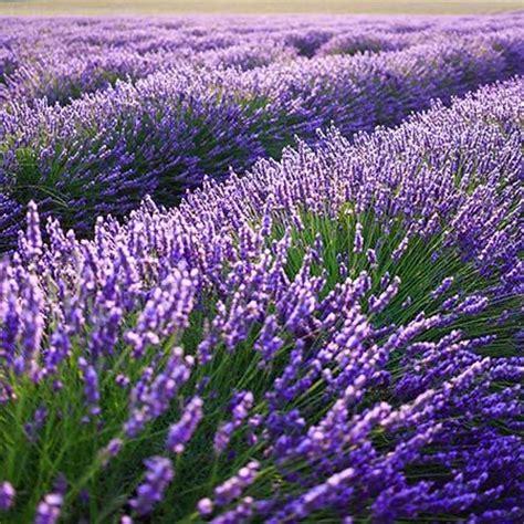 25 best ideas about lavender plants for sale on pinterest