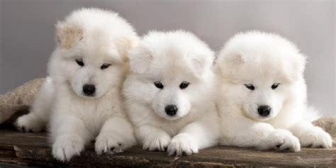 Anjing Lucu Imut 3 anjing imut gambarbagus
