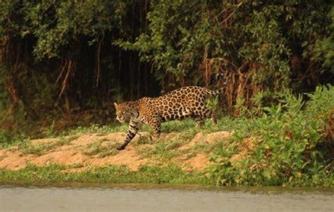 rainforest animals jaguar facts 10 amazing jaguar facts discover wildlife