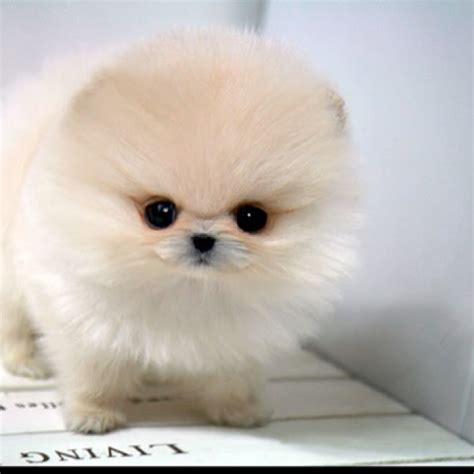 cutest teacup puppies teacup pomeranian puppies brown hairs