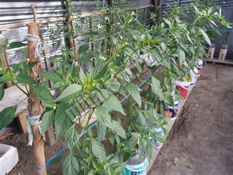 10 langkah mudah menanam cabai rawit hidroponik sistem sumbu wick