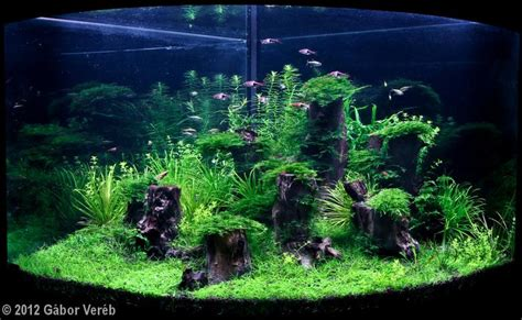 freshwater aquascaping ideas 36 gallon corner tank with blyxa and harlequin tetra you