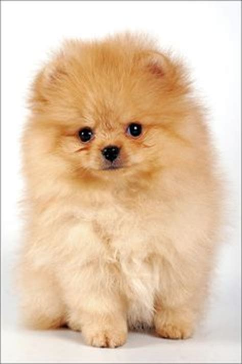 how much are pomeranian puppies uk 1000 images about pom pups on pomeranians pomeranian puppy and teacup