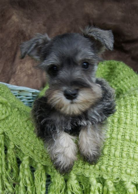 miniature schnauzer puppies for sale in michigan standard schnauzer puppies for sale featured puppies