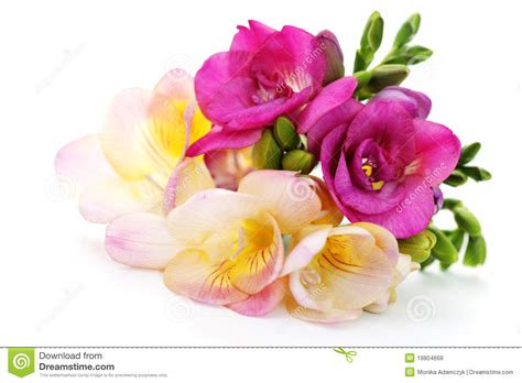flower free flowers photos free flowers stock photos freesia flowers royalty free stock photos image 19804668