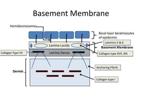 what is a basement membrane ppt histology of the skin powerpoint presentation id