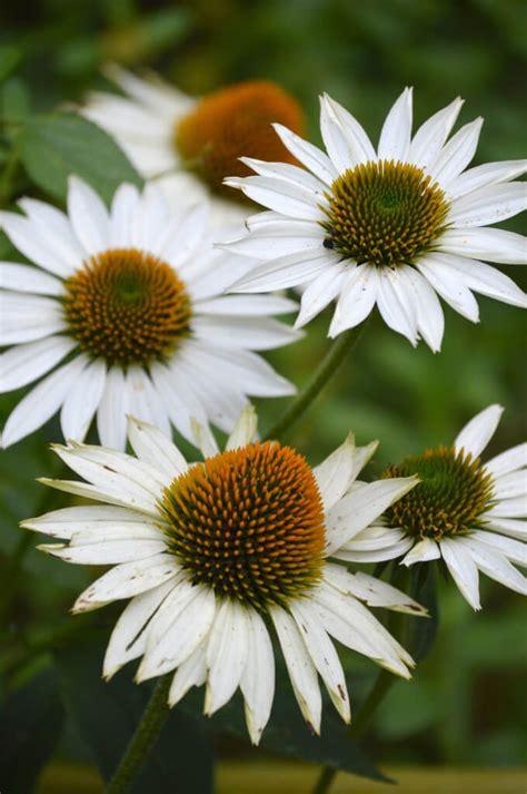 echinacea species flowering plants  bees butterflies
