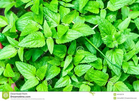 bright green foliage plants mint leaves stock photo image 46102078