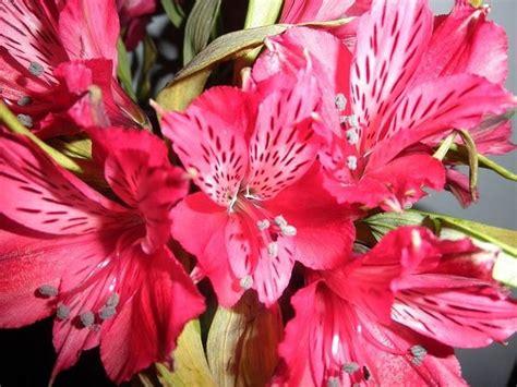 alstroemeria fiore alstroemeria piante perenni alstroemeria pianta