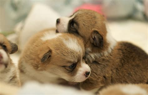 how much does a corgi puppy cost corgi breeders pictures png