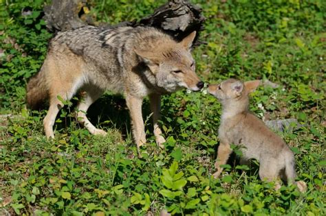 coyote puppy coyote pup photos jeff wendorff s photography