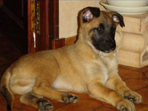 photo b 233 b 233 brembo le rouquin berger belge malinois