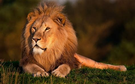 Of Lions liberia national animal wallpapers9